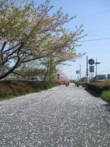 sakuramichi.jpg