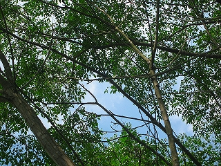 木々の間の空H20.8.24