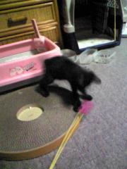 猫じゃらしで遊んでもらっているチャコ