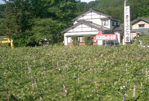 横手のブドウ畑