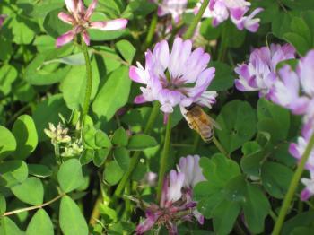 れんげと蜂