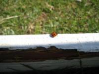 六甲てんとう虫