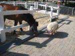 六甲馬とミニ豚1