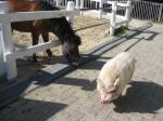 六甲馬とミニ豚2
