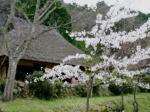 桜はただ今満開過ぎたぐらい