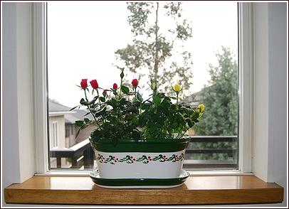 窓辺のミニバラ