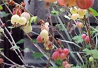 redberry.jpg