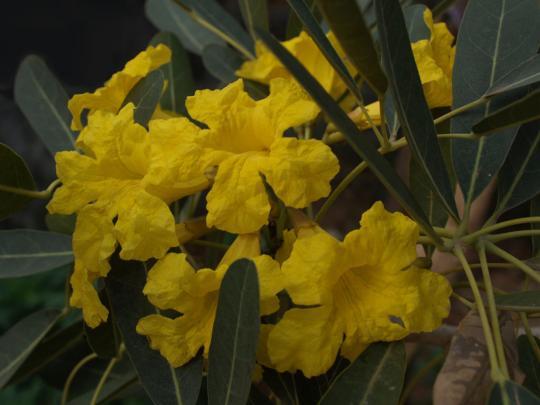 サワンナケートの街を彩っていた黄色い花