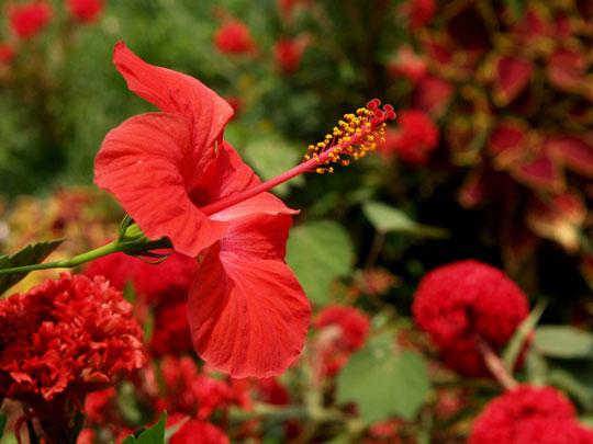 花畑のハイビスカス