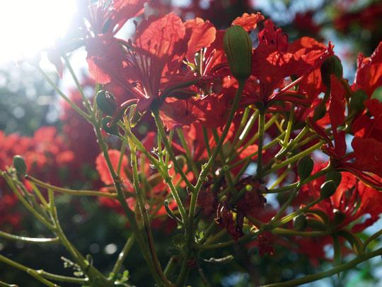 太陽と火炎樹の花