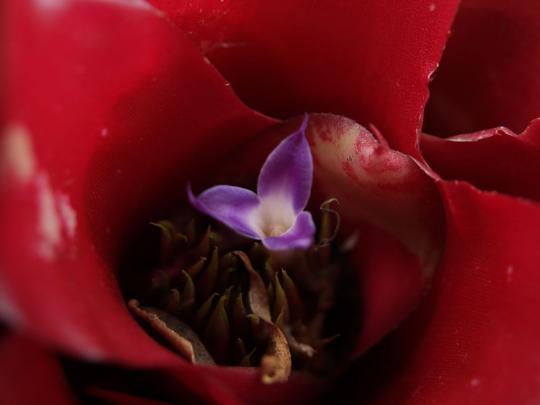 赤い観葉植物の紫の花