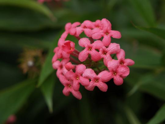 球状に咲く赤い小花