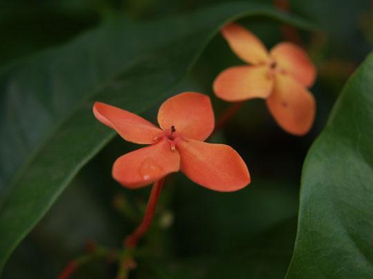 一つ咲きの山丹花