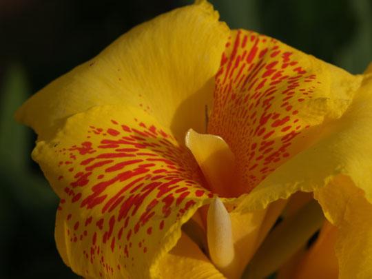 豹柄の花カンナ