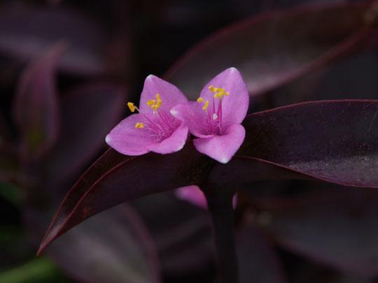 双子の紫御殿