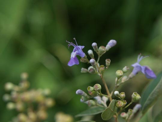 青い小花ハマゴウ