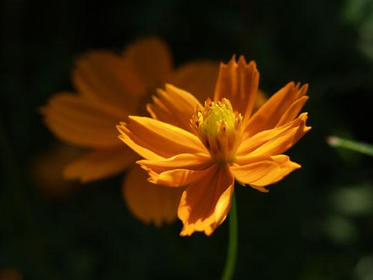 日差しの中の黄花コスモス