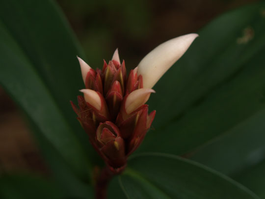 大穂咲き菖蒲