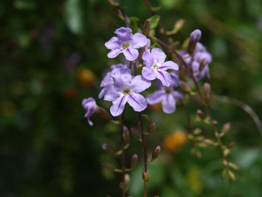 青紫のデュランタ・レペンス