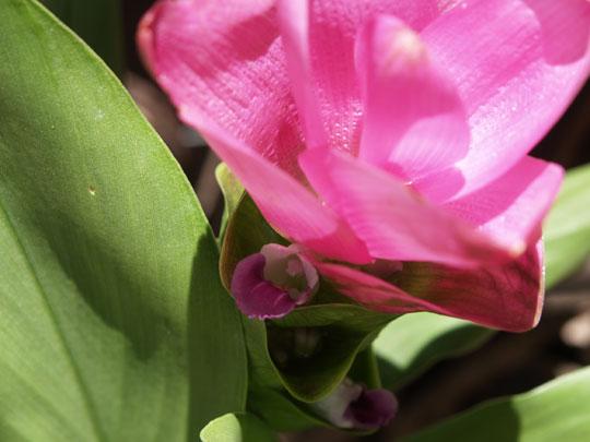 日陰の花 - クルクマ