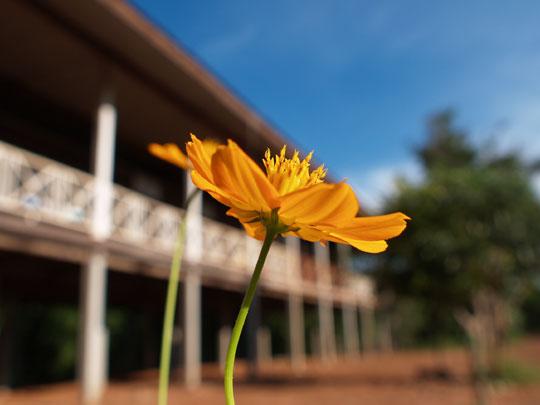 校庭の黄花コスモス