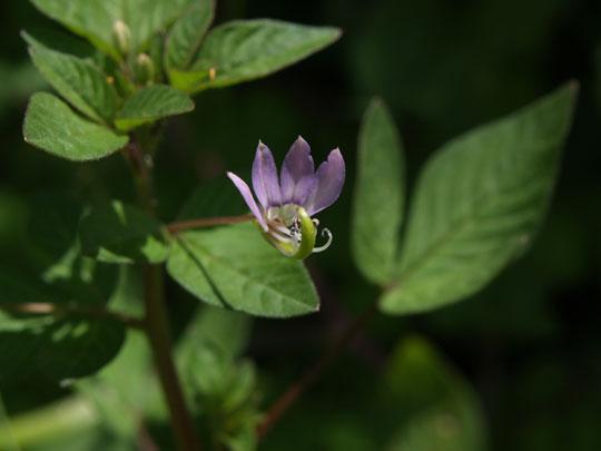 瞑想大蛇風の紫の小花