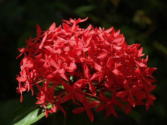 深紅の山丹花