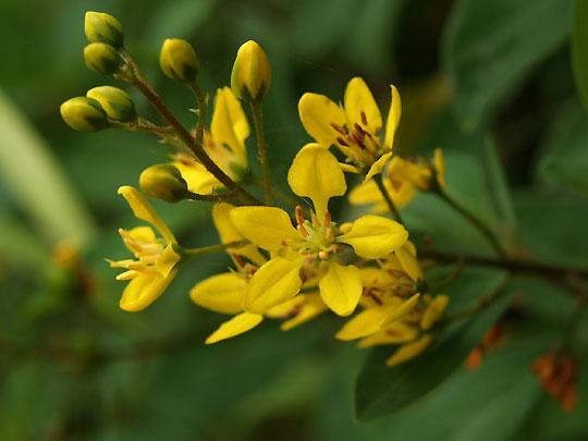 濃い黄色の小花