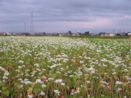 御蕎麦の花