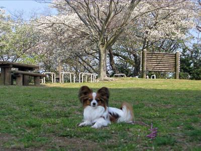 日本平 桜