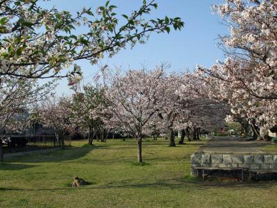 ふれあい広場の桜