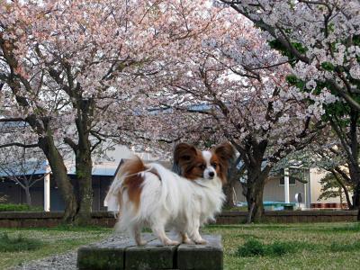 いつもの散歩道の桜