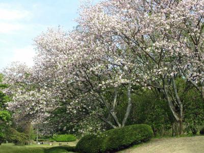 4.12 県美 桜