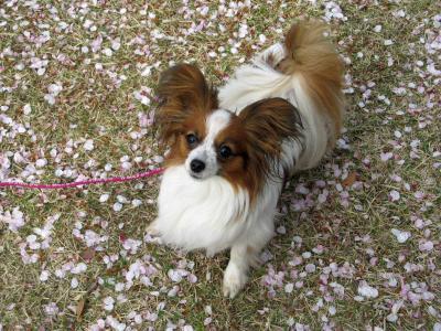 4.12 県美 桜の花びら