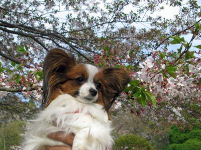 4.12 県美 桜とアビィ