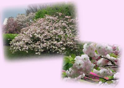 4.18--県美 八重桜