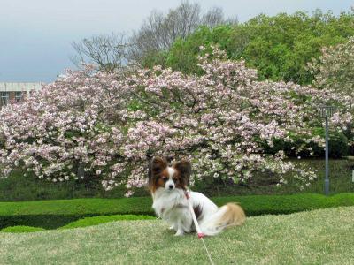 4.18--県美 桜を背に