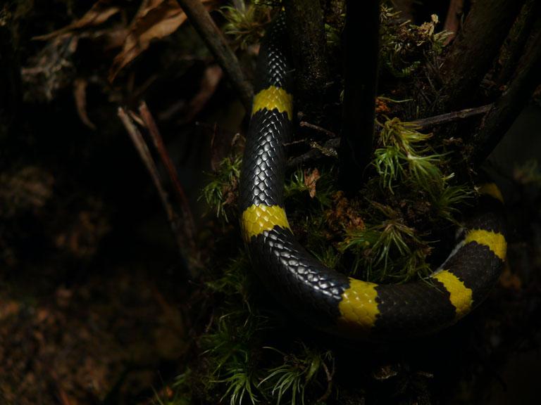 ラオスオオカミヘビ