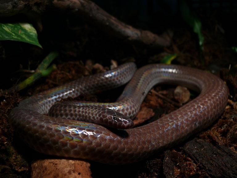 ハイナンサンビームヘビ
