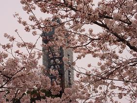 東山公園の桜