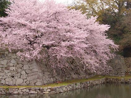 彦根城のさくら2
