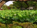 鎌倉・鶴岡八幡宮の蓮池