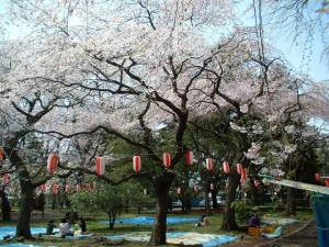 市内公園の桜