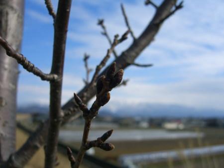 加治川堤防の桜_20090301