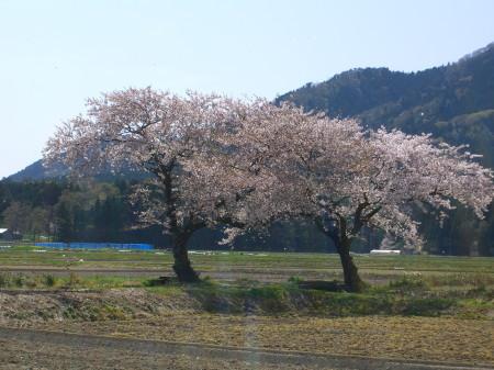 上堰潟公園から見える寄り添う桜の木20090418-01
