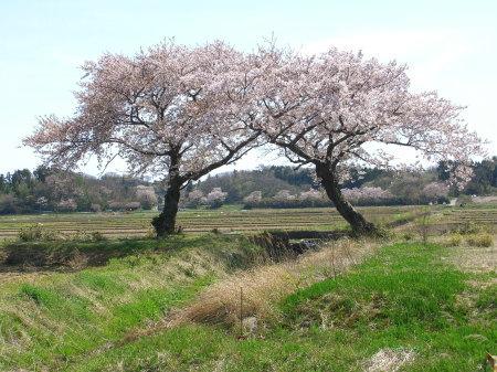 上堰潟公園から見える寄り添う桜の木20090418-02