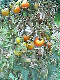 病気トマト