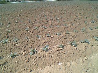 慣行農法の畑