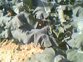 慣行農法のブロッコリー