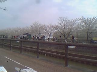 平和町桜祭り1